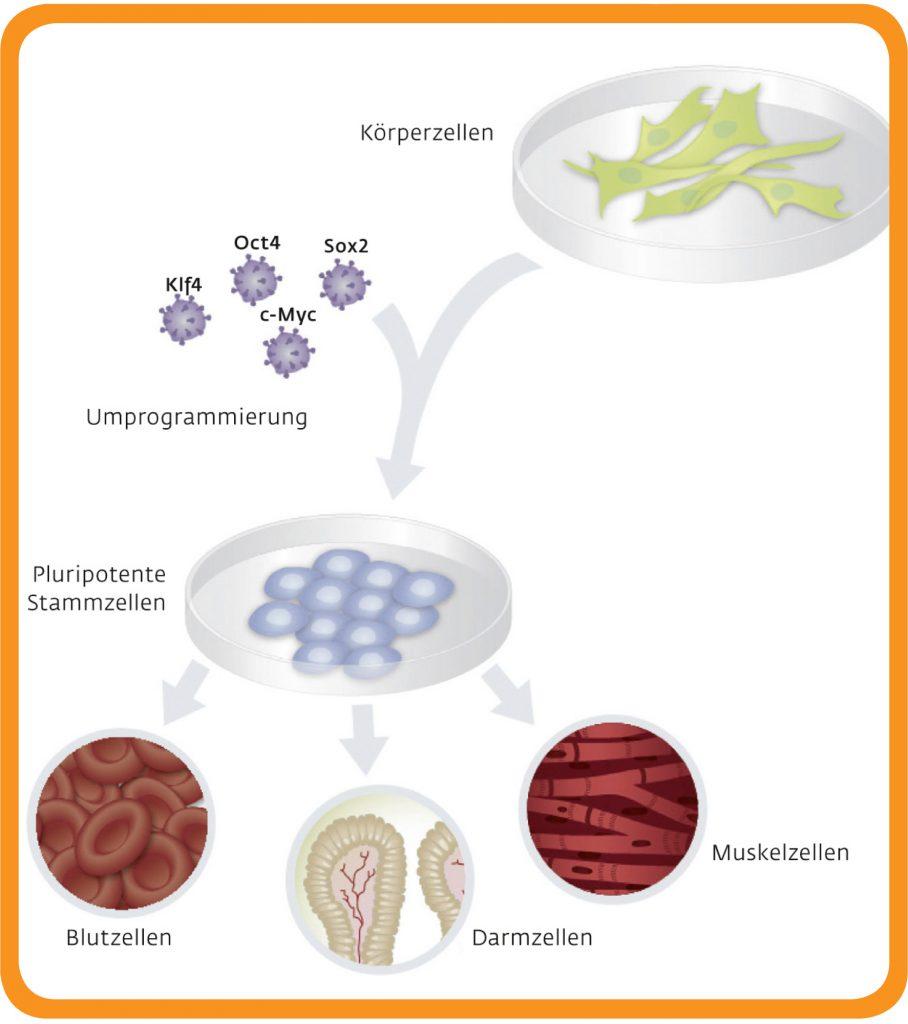 Umprogrammierung von Körperzellen in Stammzellen, Grafik
