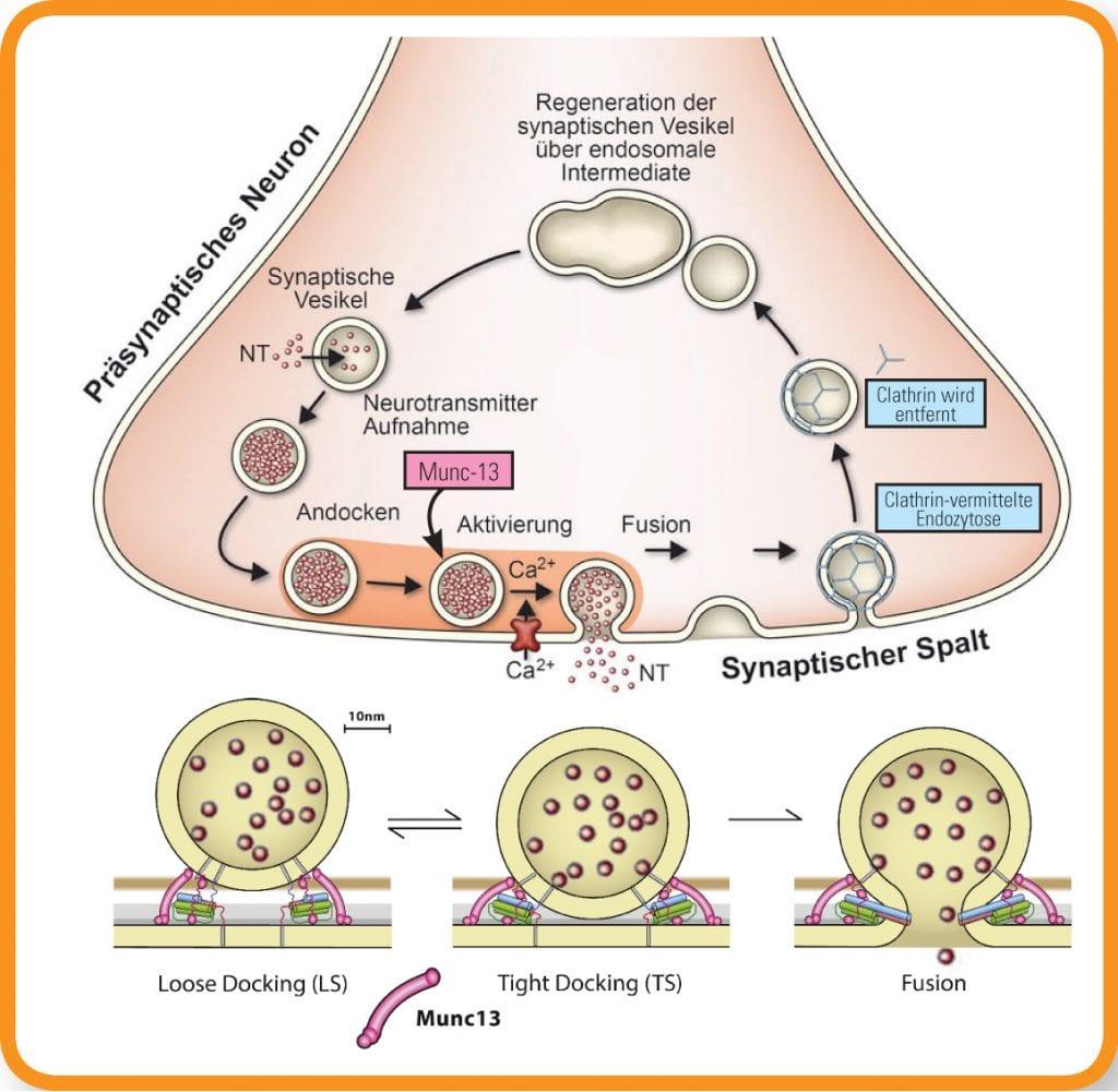 Membran synaptischer Vesikel mit Munc-13-Protein, Grafik