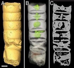 Röntgentomografie eines der fossilen Zellröhrchen (Rafatazmia chitrakootensis)
